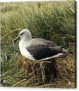 Grey-headed Albatross Nesting Chile Acrylic Print