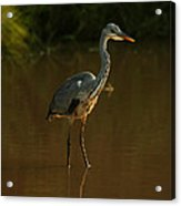 Grey Heron In Brown Water Acrylic Print