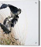 Grey Herons Fighting Acrylic Print