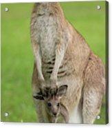 Grey Kangaroo And Joey  Acrylic Print