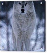 Grey Or Timber Wolf Canis Lupus In The Acrylic Print