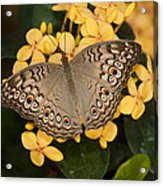 Grey Pansy Butterfly Arizona Acrylic Print