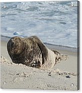 Grey Seal Pup On Beach Acrylic Print