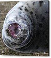Grey Seal Pup Yawning Acrylic Print