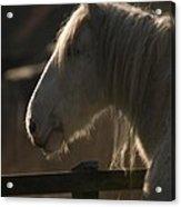 Grey Shire Horse Acrylic Print