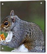 Grey Squirrel Tucking In Acrylic Print