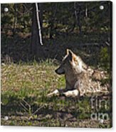 Grey Wolf   #3273-signed Acrylic Print