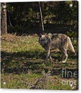 Grey Wolf   #3315 Acrylic Print