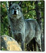 North American Wolf  Acrylic Print