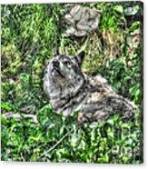 Grey Wolf Dreaming Acrylic Print