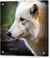 Grey Wolf Painting Acrylic Print