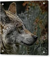 Grey Wolf Profile 3 Acrylic Print