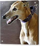 Greyhound Dog Acrylic Print