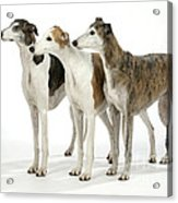 Greyhound Dogs Acrylic Print