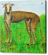 Greyhound Posing Acrylic Print