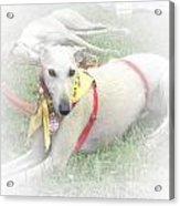 Greyhound Rescue 7 Acrylic Print by Jackie Bodnar