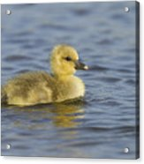 Greylag Goose Gosling Zeeland Acrylic Print
