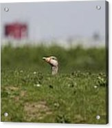 Greylag Goose Sticks Its Head Above The Dike Acrylic Print