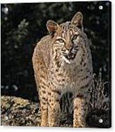 G&r.grambo Mm-00006-00275, Bobcat On Acrylic Print