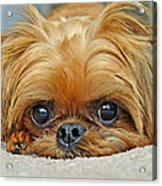 Griff Acrylic Print by Lisa Phillips