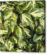 Grisilinia Littoralis 'dixon's Cream' Acrylic Print