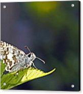 Grizzled Skipper Two Acrylic Print