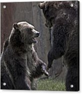 Grizzlies At Play Acrylic Print