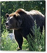 Grizzly-7756 Acrylic Print
