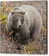 Grizzly Amongst Fall Foliage In Denali Acrylic Print