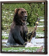 Grizzly Bear 08 Acrylic Print