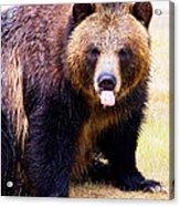 Grizzly Bear 1 Acrylic Print