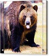 Grizzly Bear 2 Acrylic Print