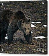 Grizzly Bear  #2510 Acrylic Print
