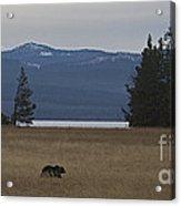 Grizzly Bear  #5270 Acrylic Print