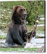 Grizzly Bear 6 Acrylic Print