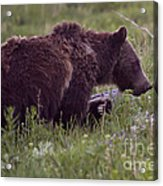 Grizzly Bear  #6192 Acrylic Print