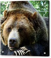 Grizzly Bear At Rest In Colorado Wildneress Acrylic Print