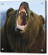 Grizzly Bear Close Up Of Growling Face Acrylic Print