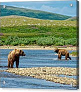 Grizzly Bear Communication In The Moraine River In Katmai  Np-ak Acrylic Print