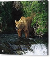 Grizzly Bear Fishing Brooks River Falls Acrylic Print