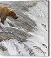 Grizzly Bear Fishing For Sockeye Salmon Acrylic Print