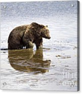Grizzly Bear In Muddy Water Acrylic Print by Mike Cavaroc
