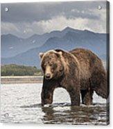 Grizzly Bear In River Katmai Np Alaska Acrylic Print