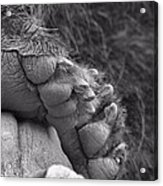 Grizzly Bear Paw Black And White Acrylic Print