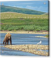 Grizzly Bear Stalking A Gull In The Moraine River In Katmai National Preserve-alaska Acrylic Print