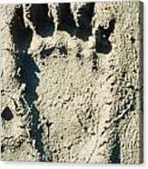 Grizzly Bear Track In Soft Mud. Acrylic Print