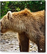 Grizzly Bear Very Close In Moraine River In Katmai National Preserve-ak Acrylic Print