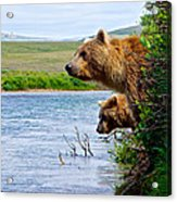 Grizzly Bears Peering Out Over Moraine River From Their Safe Island Acrylic Print