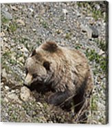 Grizzly Digging Acrylic Print