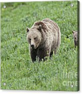 Grizzly Family On Dunraven Acrylic Print